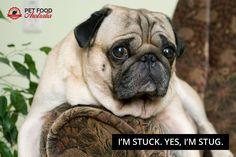 It's a pug's life #pugs