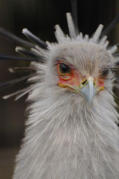 Secretary Bird  #BirdsofPrey #BirdofPrey #Bird of Prey #LIFECommunity