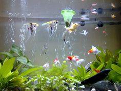 Đếm cá trong bể, đọc vị phong thủy - Tu vi - Xem tử vi trọn đời 12 con Giáp