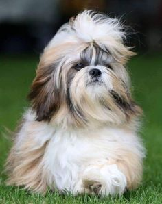 Meet Hugo Boss, the Shih Tzu, one of our #ShowTails stars