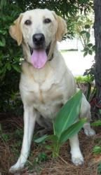 Harley is an adoptable Yellow Labrador Retriever Dog in Norfolk, VA.   Harley is a 5yo neutered male, UTD on vaccines, heartworm and flea preventative. He was rescued from a backyard ...