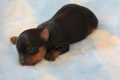Yorkie Puppies Champion Bloodline