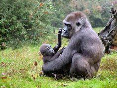 Western Lowland Gorilla mom and her baby Chimpanzee, Orangutan, Baby Animals, Cute Animals, Animal Babies, Western Lowland Gorilla, Slow Loris, Mountain Gorilla, Most Beautiful Animals