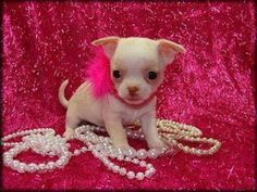190 best Cute Chihuahua Puppies For Sale images on Pinterest ...