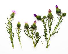 Blooming Thistles