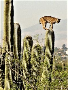 Bobcat on Saguaro Cactus, Sabino Canyon, Arizona