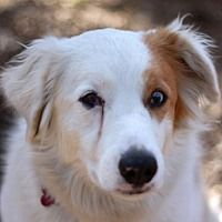 Brattleboro, Vermont - Australian Shepherd. Meet Kelly, a for adoption. https://www.adoptapet.com/pet/20736753-brattleboro-vermont-australian-shepherd-mix