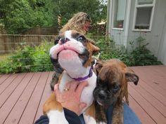 boxer pup!