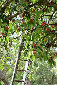 Raccolta delle ciliegie