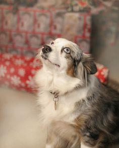 Christmas 2014, my daughter's cute pup, Kora.
