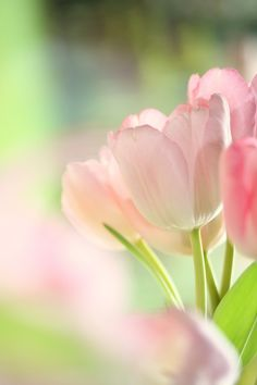 lovely pink tulips....i just luv the look of this photo!
