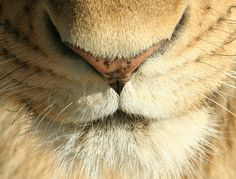 funnywildlife:  IMG_6722c by novasdtr on Flickr.African Lion Mouth Close Up