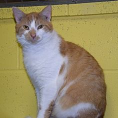 Pictures of Atwell a Domestic Shorthair for adoption in Pottsville, PA who needs a loving home.