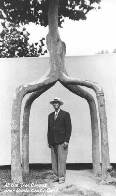 Axel Erlandson underneath one of his arborsculpture (Image credit: Wilma Erlandson, Cabinet Magazine)    Erlandson was very secretive and refused to reveal his methods on how to grow the Circus Trees (he even carried out his graftings behind screens to protect against spies!) and carried the secrets to his grave.