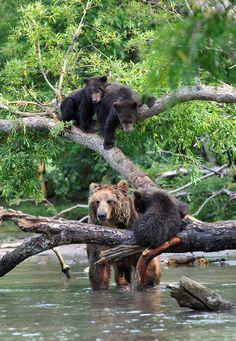 mamma bear and cubs
