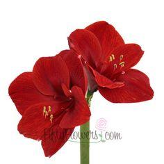 FiftyFlowers.com - Amaryllis Red Bulk Flower