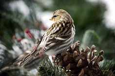 Common Redpoll by Christina Rollo