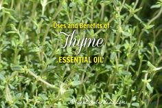 Thyme has been used as a medicinal herb for centuries. What are the thyme essential oil uses and benefits? Are the health benefits clinically proven?
