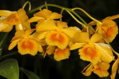 Dendrobium chrysotoxum - A beautiful species from the Indian State of Arunachal Pradesh through the southern part of Yunnan Province in China and into Cambodia, Laos, Myanmar, Thailand and Vietnam.