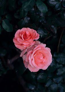 خلفيات ايفون ورد جميلة جدا Iphone Flower Background Flower Backgrounds Flowers Iphone Wallpaper