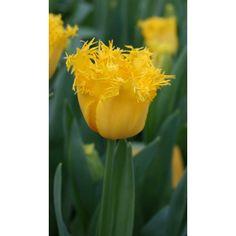 Hamilton Fringed Tulip