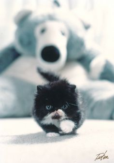 Personally there is nothing cuter than a Persian kitten.
