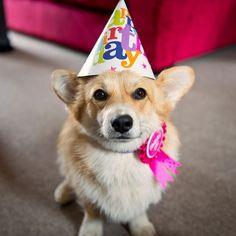 its my birthday Baby Corgi, Corgi Mix, Happy Birthday Corgi, Animals And Pets, Cute Animals, Corgi Pictures, Corgi Pembroke, Corgi Funny, Dog Mom Gifts