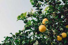 kako uzgojiti limun iz sjemena