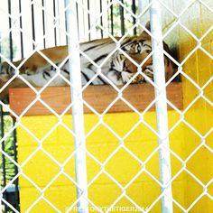 Resting the stripes and just checking in with my Pinterest furiends. ❤️ #tiger #tigers #tigertruckstop #captivetigers #tigertruckstop #louisiana #freetonytiger #tonythetruckstoptiger