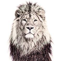 Lion Magnetic Wallpaper