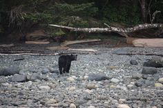 Black bear, Port McNeill, Vancouver Island, Canada