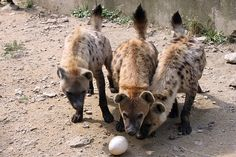 giraffe enrichment images   spotted hyena Enrichment. » Seoul Zoo Gallery