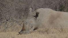 Africa Geographic article on HORN, a film about the social side of rhino poaching. Crime In South Africa, Rhino Poaching, Horns, Documentaries, Safari, Photo Galleries, Wildlife, Elephant, African
