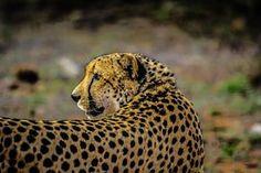 Cheetah, Villieläimet, Nisäkäs, Afrikka