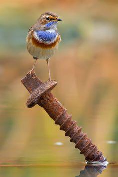 fairy-wren: bluethroat (photo by alejiga)