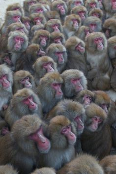 Primates, Mammals, Japanese Monkey, Funny Animals, Cute Animals, Wild Animals, Japanese Macaque, New World Monkey, Ape Monkey