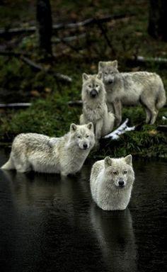 thatwanderinglonewolf:  With Interest… by Daniel Parent