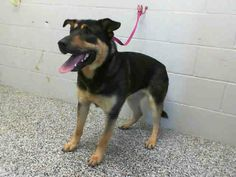SAFE --- OUT OF TIME!!! KIMMY - ID #A462467 (MUST EXIT ON 3/22)   I am a female, black and tan German Shepherd Dog mix.   Shelter staff think I am about 1 year old.   I have been at the shelter since Mar 15, 2014 San Bernardino City Shelter - Phone: 909-384-1304, Address: 333 Chandler Pl., San Bernardino, CA 92408 https://www.facebook.com/photo.php?fbid=10201180372345288&set=a.3186215868195.111836.1649756531&type=3&theater