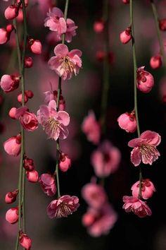 aaahhh … Sakura flowers. Made in Japan