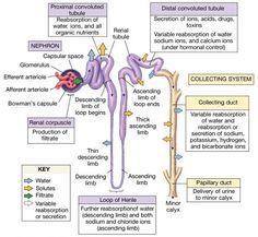 Kidney. KTCG A&PCENTRAL