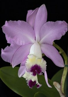 """Cattyleya Orchid -- Sweet Sixteen"" by Anna Belleny on Flickr"