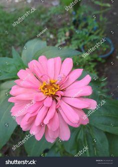 Pink Zinnia Elegans Dahlia Zinnia Flower Stock Photo (Edit Now) 1612624126 Zinnia Elegans, Dahlia Flower, Zinnias, Planting Flowers, Photo Editing, Royalty Free Stock Photos, Pink, Illustration, Plants