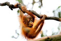 Baby orangutan Endangered Species by Chong Jiun Yih - Photo 1415025 Animals Are Beautiful People, Amazing Animals, Primates, Nature Animals, Animals And Pets, Wild Animals, Cute Baby Animals, Funny Animals, Save The Orangutans