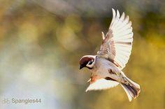 pardal voando  soaring