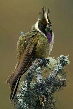 Bearded Helmetcrest Hummingbird