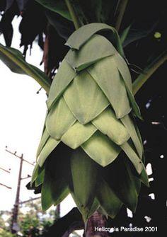 Ensete glaucum ( Musa glauca) - Snow Banana