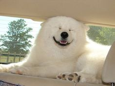 Cracks me up!! Samoyeds are known as smiley dogs- can you see why?