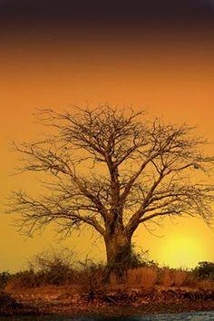 Baobab, Siné Saloum, Sénégal Magnifique baobab au coucher du soleil. L'arbre, bien que poussant au milieu de zone tres aride est genereux envers les populations. Les villageois collectent les fruits et les feuilles pour en faire toute sorte d'aliment : du jus, des bonbons, et des gateaux avec la pulpe et du café et de l'huile avec les graines. Ses feuilles accompagne le couscous de mil . Son écorce est utilisé pour faire des cordages.