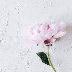 Wenn das aktuelle DIY sich zufällig auch als hüüübscher Fotountergrund entpuppt . A rough background with an elegant beauty on it... . . . #flower #flowers #flowerslovers #flowerstagram #instaflowers #flowersofinstagram #flowersmakemehappy #flowerstyling #flowerblogger #flowerpowerbloggers #instablooms #bloom #blooming #beautiful #flowermagic #peony #peonies #fullbloom #simplygood #pursuepretty #flashofdelight #minimallove #peonylove #peonyflower #peonyseason #pfingstrosenolé…