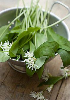 wild garlic - foraging in May